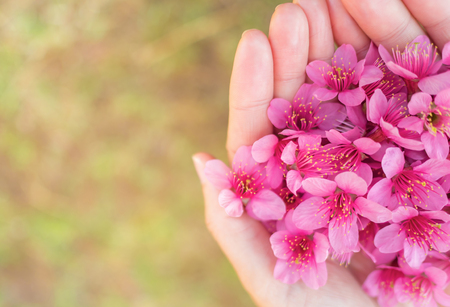 Close up image of pink Wild Himalayan Cherry flowers (Sakura of Thailand) on woman hands with blurred bokeh background, Copy Space