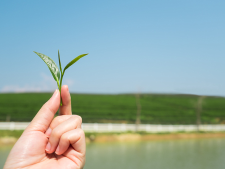Close-up image of human hand holding tea leaf with blurred tea plantation and blue sky background, Copy space