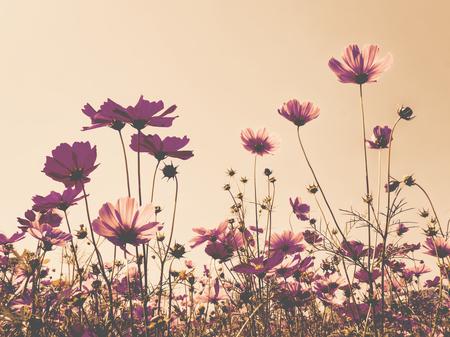 Roze kosmos (bipinnatus) bloemen tegen de heldere blauwe hemel. Cosmos is ook bekend als Cosmos sulphureus, Selective Focus, Late Color Tone