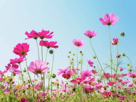 Pink cosmos (bipinnatus) flowers against the bright blue sky. Cosmos is also known as Cosmos sulphureus, Selective Focus
