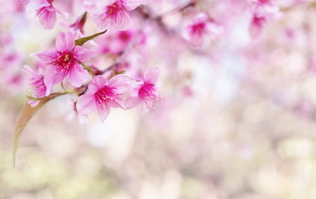 Close-up image of wild himalayan cherry bouquet (Sakura of Thailand) on blurred bokeh background in high key tone with copy space, Selective focus