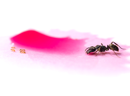 Macro image of different ants sharing red sweet water drop isolate on white background, Concept of peace