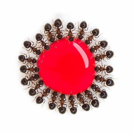 Macro top view image of group of ants (Meranoplus sp.) eating red sweet water drop in the same order look like a flower isolate on white background
