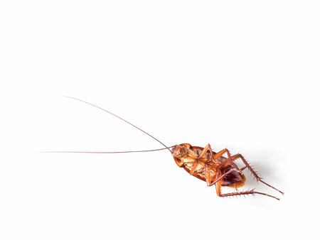 pest control: Close-up top view image of turn over cockroach isolate on white background with copy space