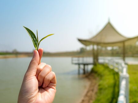 fairtrade: Close-up image of human hand holding tea leaf look like a tree with blurred pavilion on lake and sky background
