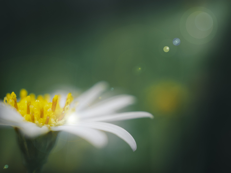 brightness: Close-up side view image of Daisy flower in light ray on the dark with flare effect, Copy space, Hope concept