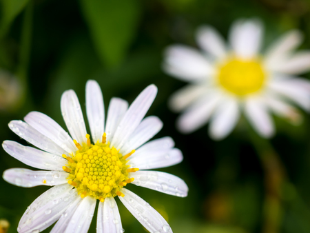 Close-up image of Daisy flower with drops on the petals in garden after the rain and another one blurred on background  Stok Fotoğraf