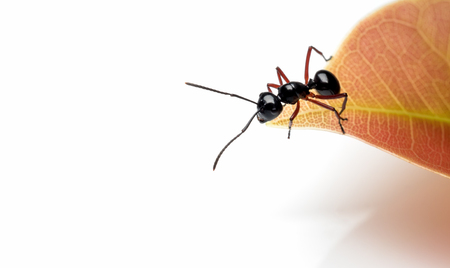 Close-up image of single worker Polyrhachis laevissima ant on red leaf peak isolate on white background with copy space