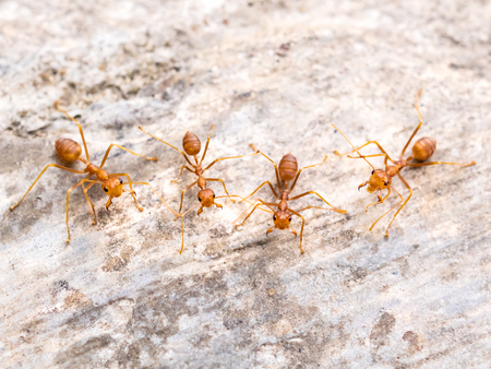 Top view and close-up image of red ants group (Oecophylla smaragdina F.) chasing to threat on cement floor