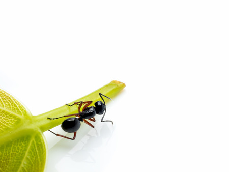 Close-up image of single worker Polyrhachis laevissima ant on green leaf isolate on white background with copy space Stock Photo