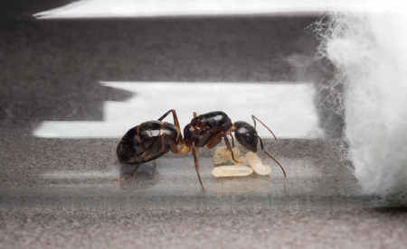 Close-up image of the queen Carpenter Ant (Camponotus Sp.) to prevent eggs, larva and pupae in test tube
