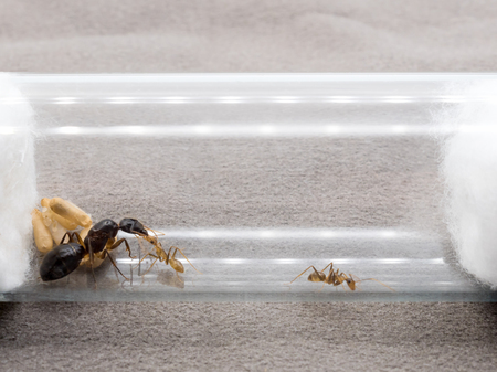 Super macro image of the worker ant (Camponotus Sp.) feeding the queen ant in test tube  Stock Photo