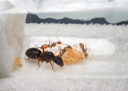 Super close-up image of workers ants (Camponotus Sp.) taking care of the queen ant, eggs, larva and pupae in test tube
