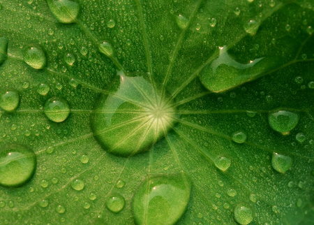 Close-up and top view image of dew on Centella asiatica leaf (Asiatic leaf, Asiatic pennywort or Indian pennywort) after the rain in the dark. It is native to wetlands in Asia. It is used as a culinary vegetable and as medicinal herb. Stock Photo
