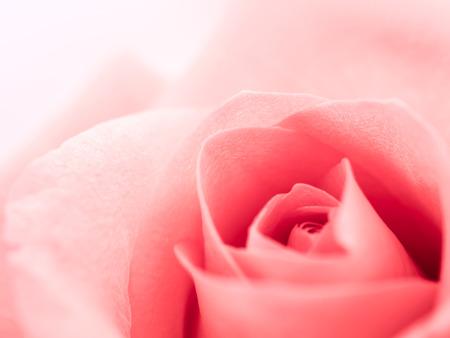Nahaufnahme der schönen Rosarosenblume mit Kopienraum. Valentinstag, Liebe und Hochzeitskonzept.
