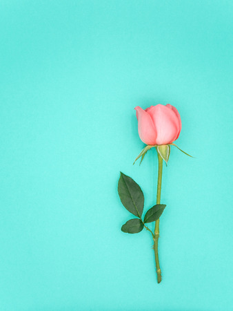 Top view image of pink beautiful rose flower with copy space on green background, Pastel colors. Valentine day, love and wedding concept. Stock Photo