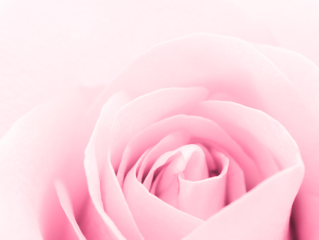 Close-up image of beautiful pink rose flower with copy space. Valentine day, love and wedding concept.