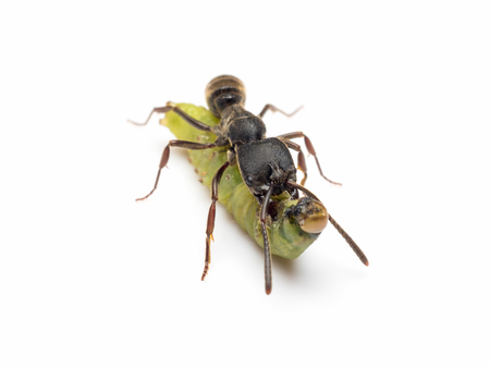 Extreme close-up image of Pachycondyla rufipes worker ant killing and transporting dead green worm on white background Stock Photo
