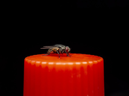 House fly resting on red bottle water cap on dark background. Concept of sanitation, pest, epidemic control, unhealthy