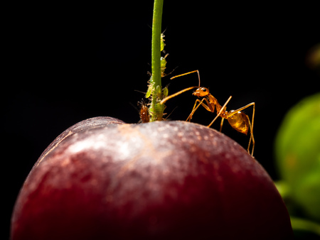 Worker yellow crazy ant (Anoplolepis gracilipes) protect aphids on red ripe Suriname cherry (Eugenia uniflora). Relationship between aphids and ants is symbiotic.