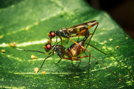 Couple Stilt Legged Flies (Micropezidae) mating on leaf in nature Stock Photo