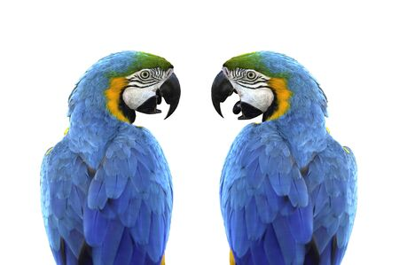 Close up from back of side-facing two Blue and gold macaws (Ara ararauna) isolated on white background. Blue and gold macaw It is a large tropical parrot that is favour as a pet.