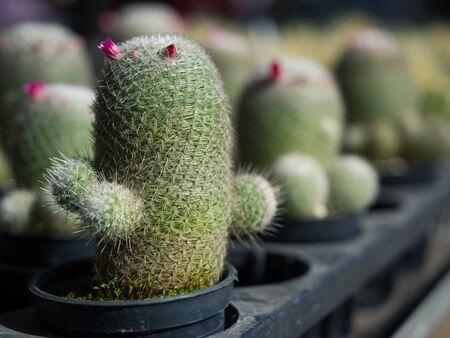 Cactus in black plastic pot inside plant shop for home decoration Banco de Imagens