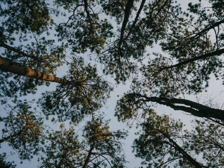 Bottom view of tall trees in the evergreen pine forest in Chiang Mai province in the north of Thailand.