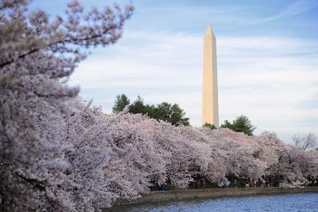 cherry blossom at washington memorial from Washington, DC Editorial
