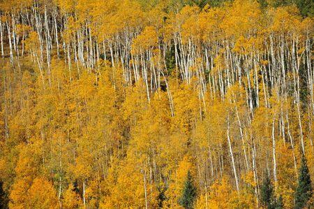 yellow aspen forest pattern photo