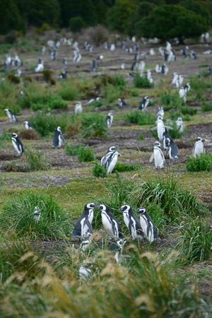 pinguinera: colonia de ping�inos en Am�rica del Sur Foto de archivo