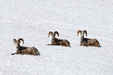 thee: thee bighorn sheep on snow