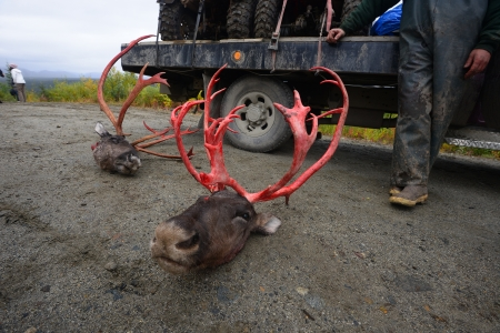 hunted caribou from alaska photo