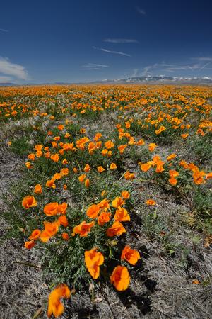 california poppy flower field at antelope valley poppy reserve