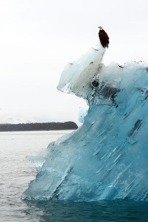 tip of the iceberg: bald eagle stand on top of blue iceberg