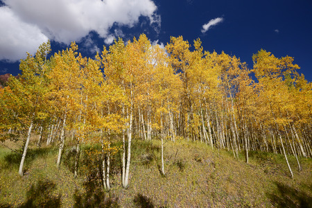 yellow aspen tree from colorado photo