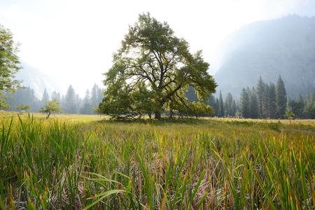 un famoso olmo in valle di Yosemite Archivio Fotografico