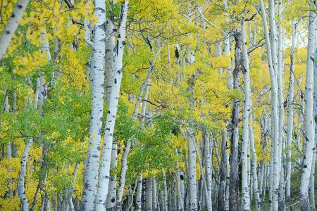 aspen tree in autumn from colorado Фото со стока