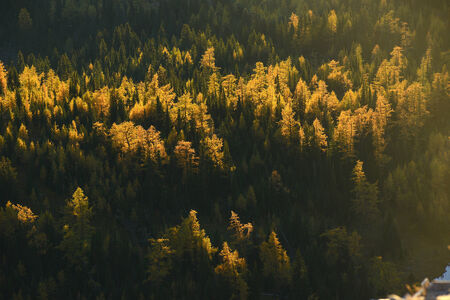 larch: yellow larch tree in forest of alberta in autumn Stock Photo