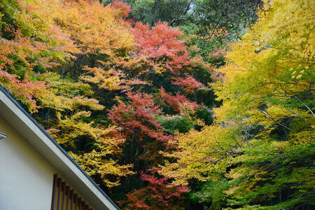 japenese: colorful maple tree with japanese style roof