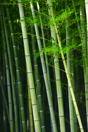 japones bambu: bamb� japon�s verde en un jard�n