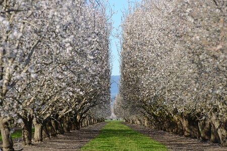 almond tree farm with spring blooming near sacramento