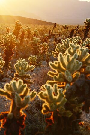 cholla cactus: cholla cactus garden from Joshua Tree national park with a warm morning sunlight