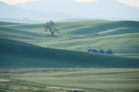 palouse: green wheat hills of farming crop area in palouse washington with morning sunlight