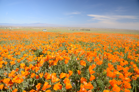Wild orange california poppy blooming from antelope valley in southern california Stok Fotoğraf