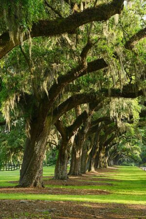 bonne: A row of old oak tree from a plantation near Charleston, south carolina