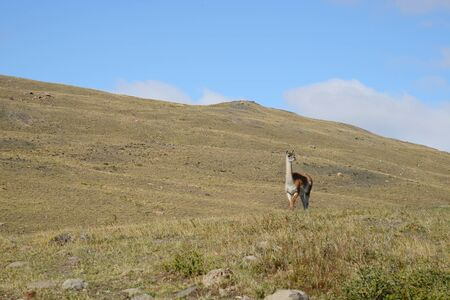 guanaco: wild guanaco with hill and mountain in patagonia