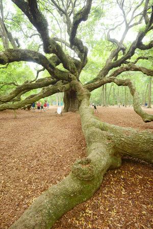 in charleston: A old historic angel oak tree near charleston, south carolina