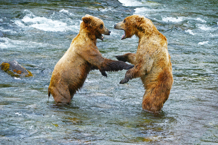 katmai: Grizzly bear fighting in a river at katmai national park