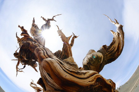 A thousand year old living bristlecone tree in white mountain near sierra nevada